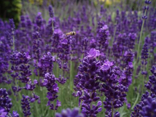 Flying Over Lavender