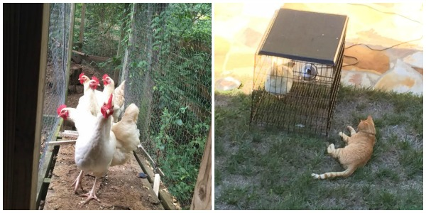 Riley and Chickens