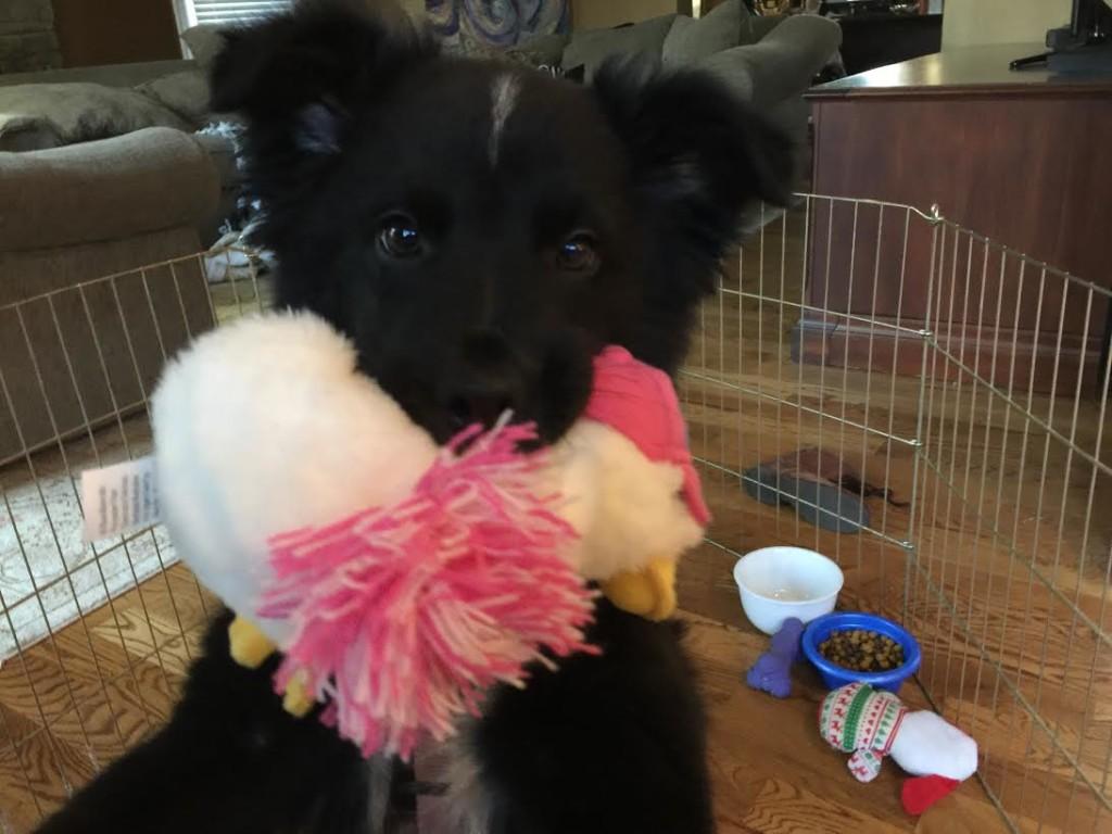 Australian Shepard puppy